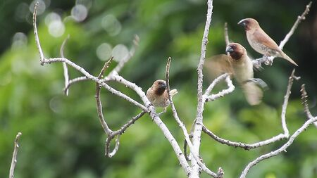 There Scaly-breasted Munia Birds in the tree, Nature backgrounds