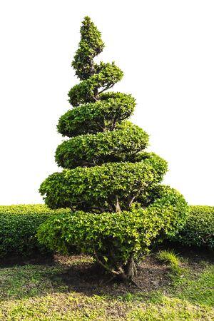 Dwarf tree isolated on white