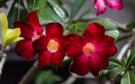 Desert rose flower (Other names are desert rose, Mock Azalea) in natural light Banco de Imagens