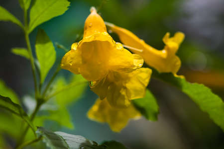 Close up picture, Tecoma stans, Yellow Bell, Ornamental Africa, Yellow Flowers with water drops after the rain fall Banco de Imagens