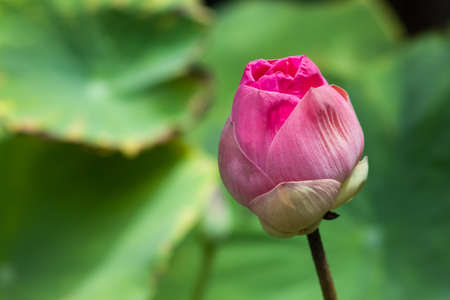 Pink lotus and leavrs in natural light, Backgrounds Banco de Imagens