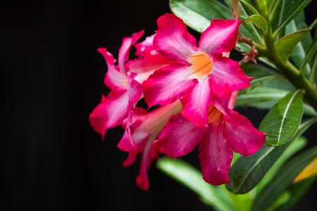 Azalea flowers or Pink star flowers in natural light