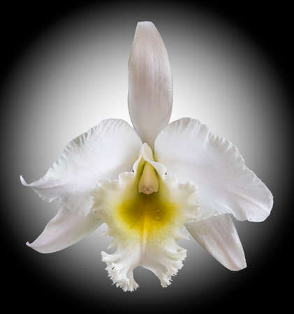 Beautiful white cattleya orchid isolated on black background