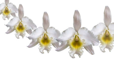Beautiful white cattleya orchid isolated on white background Banco de Imagens