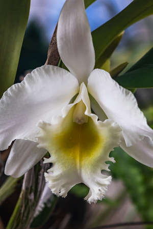 Beautiful white cattleya orchid in natural light background