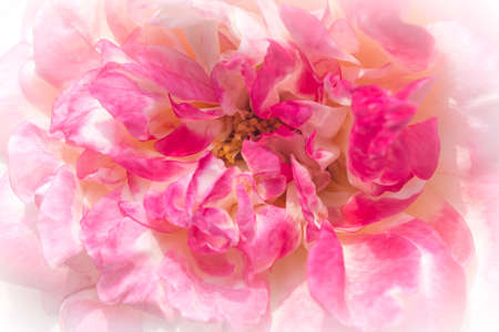 Close up of beautiful roses in natural light background