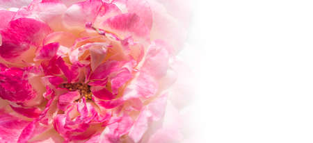 Close up of beautiful roses isolated on white, background Banco de Imagens