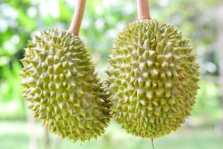 Fresh durian on tree King of fruit Stock Photo