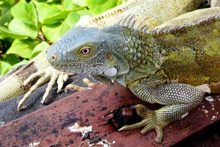 Iguana in close up Stock Photo
