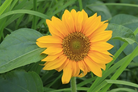 sunflower on a green background Stock Photo - 13101094