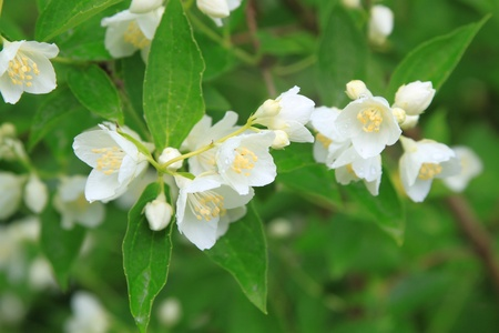 beautiful blossoming branch of jasmine   photo