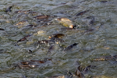 hatchery: School of carp fish hatchery background Stock Photo
