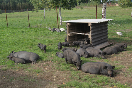 A group of Vietnamese black small pigs play and sleep in the grass photo