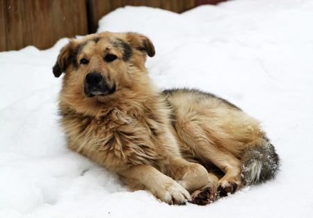 Stray dog with sad eyes on snow photo