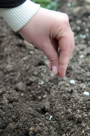 woman  sowing radish seed into the soil photo