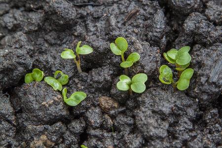 Young seedlings of radish growing on bed photo