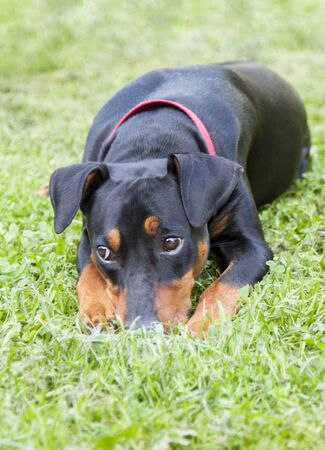 lonely sad German Pinscher lying on the lawn in the backyard of a country house Zdjęcie Seryjne