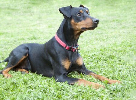 lonely sad German Pinscher lying on the lawn in the backyard of a country house