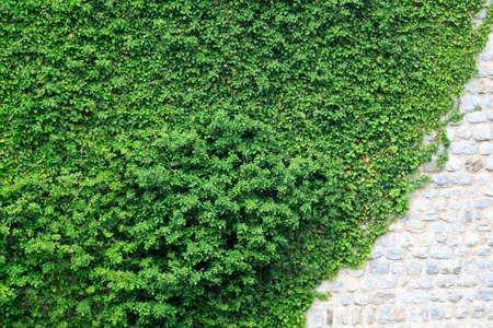 wall hidden under a winding ivy with an ancient stones Standard-Bild