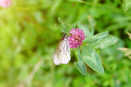 Small white, black-veined cabbage butterfly rests on pink clover flower at summer time. Spring landscape with flowering meadow and little wild life.