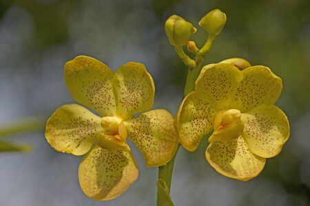 lasting: Vanda orchid in yellow  Beautiful flowers are long lasting