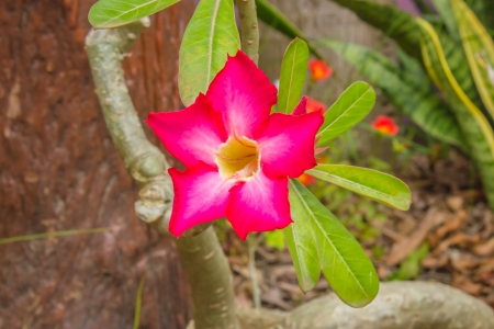 drought    resistant plant: Adenium  Desert Rose; Impala Lily; Mock Azalea  is a species of beautiful colorful flowers  Wood is easy to plant  More resistant to drought  It has been referred to as Desert Rose  Desert Rose