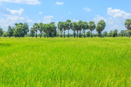 See the beautiful green paddy fields in Thailand  photo