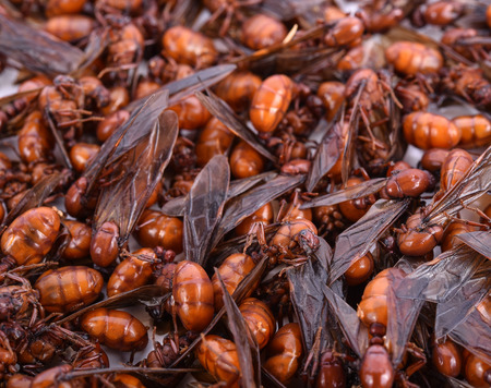 subterranean: Close-up subterranean ants with background Stock Photo