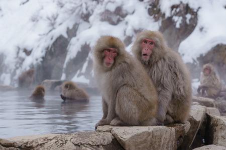 macaque: Japanese macaque bathing Stock Photo