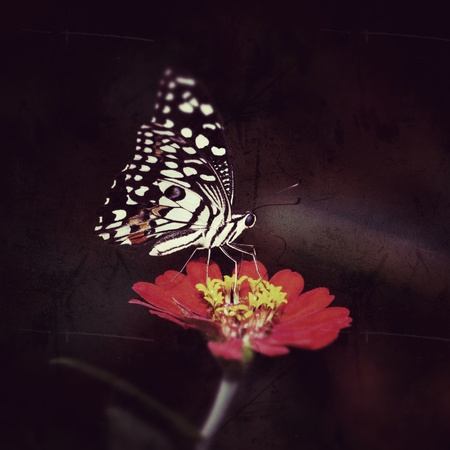 grunge vintage Monarch butterfly seeking nectar on a flower photo