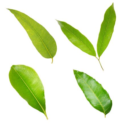 temperate: Collection of leaves isolated on a white background