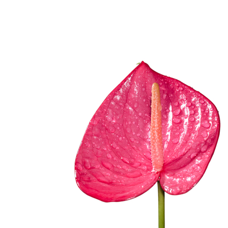 spadix: red spadix flower isolated on white