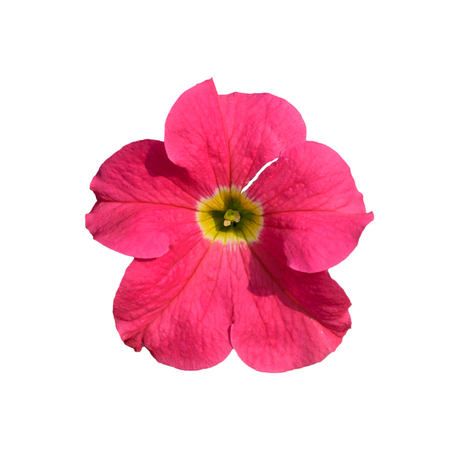 geranium color: Beautiful Pink  Flower Isolated on White Background