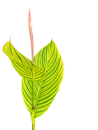 Calathea ornata Large green leaf, isolated on white background with clipping path Stock fotó