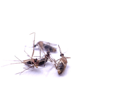 Mosquito dead isolated on white background.