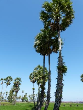 zucchero di palma