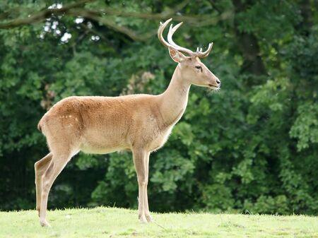 rut: deer