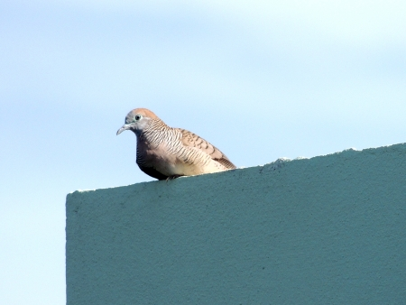 turtledove photo
