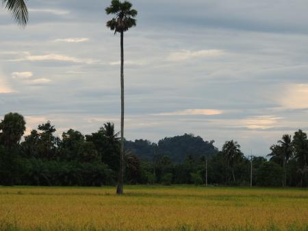sugar palm tree Stock Photo - 15990916