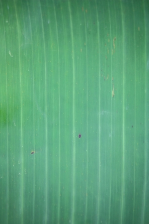 closeup image of fresh young sparkling banana leaf as natural background photo