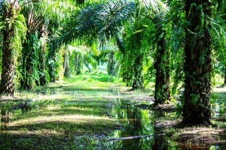 Palm Oil Plantation  Palm oil to be extracted from its fruits