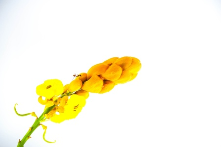 Bright yellow candle bush flower against a green leaf background