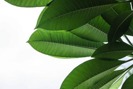 Macro fotografia di una foglia verde su sfondo bianco.