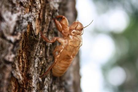 conversational: A trio of cicada shells