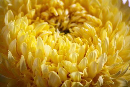 Primo piano del fiore giallo aster, margherita