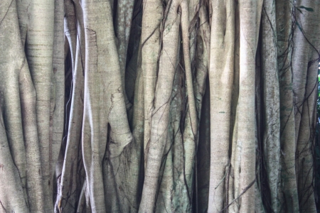 banyan tree: Close up on the roots of a large Banyan tree.