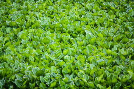 water hyacinth: Water Hyacinth cover a pond.