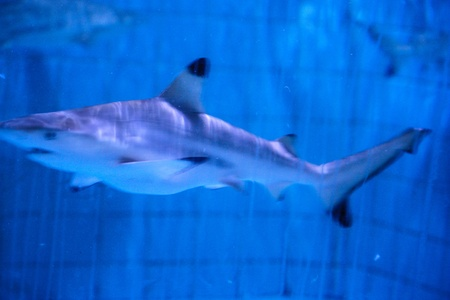 A pair of Sand tiger sharks photo