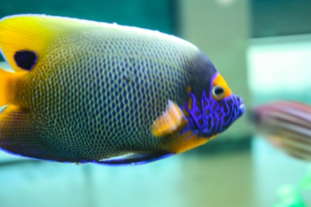 closeup of powder blue surgeonfish on a coral reef. beautiful blue background Stock Photo - 21332859