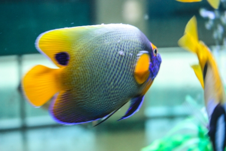 closeup of powder blue surgeonfish on a coral reef. beautiful blue background photo